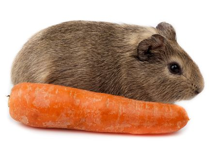 Guinea pig with carrot in studio against a white background. Stock Photo - 6479323