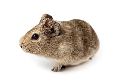agouti: Guinea pig in studio against a white background.