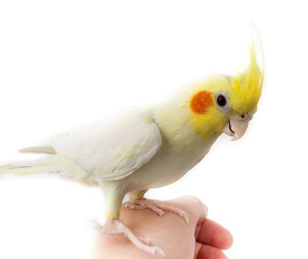 Cockatoo Parrot, or Quarrion, or Weero (Nymphicus hollandicus) in studio against a white background.