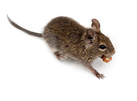Common Degu, or Brush-Tailed Rat (Octodon degus) in studio against a white background. Stock Photo - 6479317