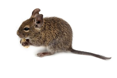 Common Degu, or Brush-Tailed Rat (Octodon degus) in studio against a white background. Stok Fotoğraf