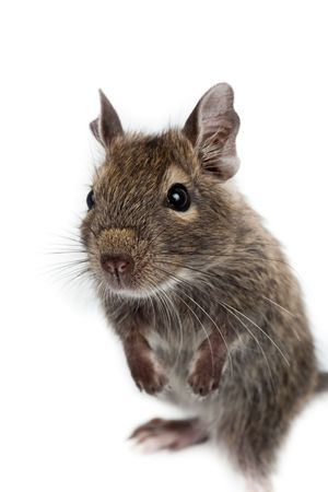 Common Degu, or Brush-Tailed Rat (Octodon degus) in studio against a white background. Stock Photo