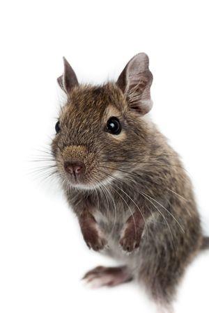Common Degu, or Brush-Tailed Rat (Octodon degus) in studio against a white background. Stock Photo