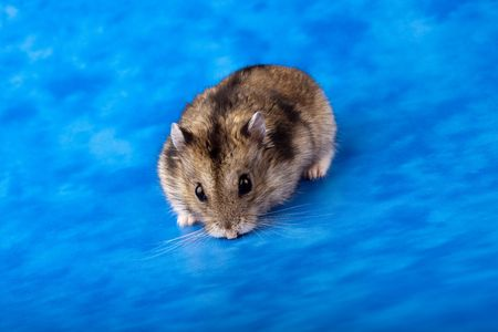 Winter White Russian Dwarf Hamster in studio against a blue background. photo