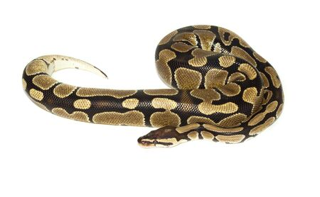 Royal Python, or Ball Python (Python regius), in studio against a white background. Stok Fotoğraf