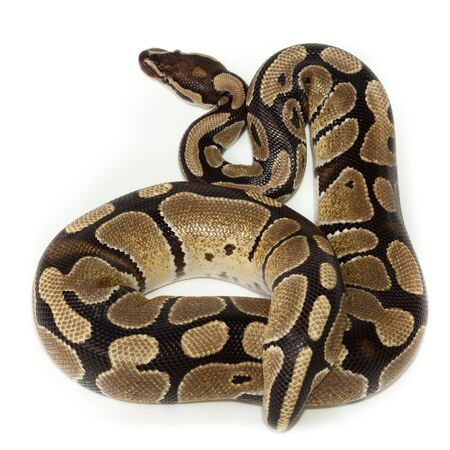 jeopardy: Royal Python, or Ball Python (Python regius), in studio against a white background. Stock Photo