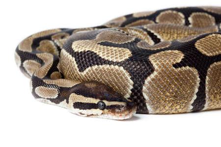 royal python: Royal Python, or Ball Python (Python regius), in studio against a white background. Stock Photo