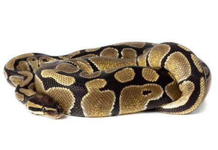 Royal Python, or Ball Python (Python regius), in studio against a white background. Stock Photo - 6564049