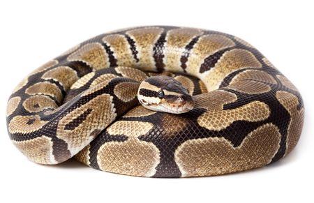 Royal Python, or Ball Python (Python regius), in studio against a white background. Stock Photo