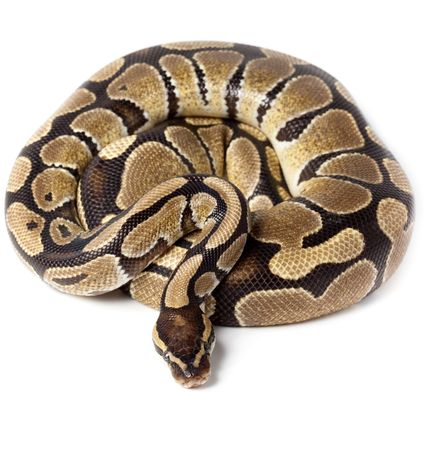the reptile: Royal Python, or Ball Python (Python regius), in studio against a white background. Stock Photo