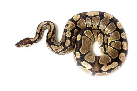Royal Python, or Ball Python (Python regius), in studio against a white background. Stock Photo