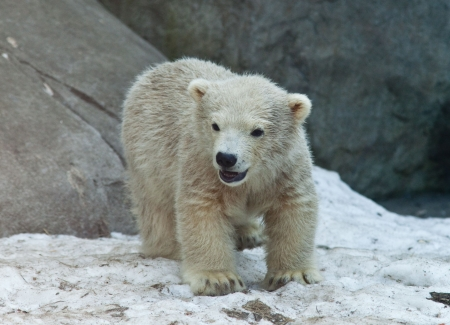 Bear cub. Wild polar bear in the Moscow zoo.