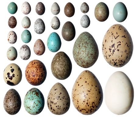 Eggs of birds in front of white background.