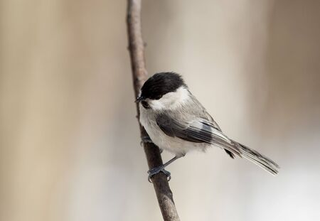 Willow Tit, or Black-capped Chickadee (Parus montanus) perching on a branch of the tree. Stock Photo - 6760004