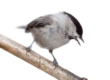 Willow Tit, or Black-capped Chickadee (Parus montanus) in front of white background. photo