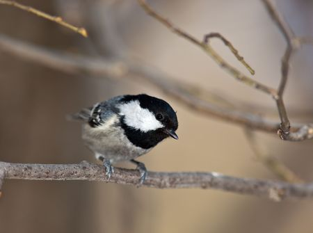Coal Tit, Coalmouse, (Parus ater). The bird perching on a branch of the tree. Stock Photo - 6759993