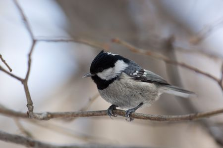 tit bird: Coal Tit, Coalmouse, (Parus ater). The bird perching on a branch of the tree.