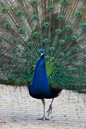 indian peafowl: Indian Peafowl, Peacock, or bird of Juno (Pavo cristatus) in the Moscow zoo.