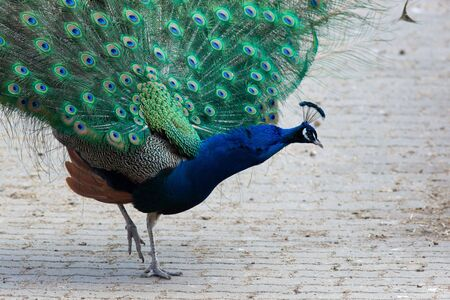 demonstrative: Indian Peafowl, Peacock, or bird of Juno (Pavo cristatus) in the Moscow zoo.
