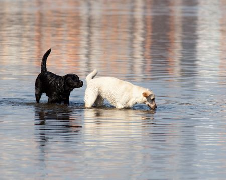 The black dog sniffs white to a knot. photo