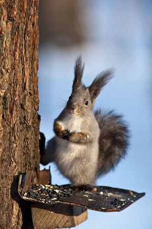 ludicrous: Red squirrel Eurasian, Sciurus vulgaris, sitting on a branch of the tree.