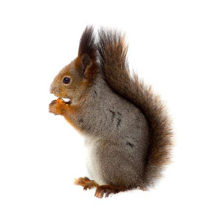 Red squirrel Eurasian (Sciurus vulgaris) in front of white background.