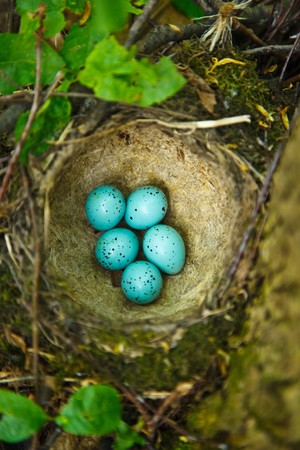 nesting: Song Thrush,  Turdus philomelos. The Nest of bird with five blue eggs.