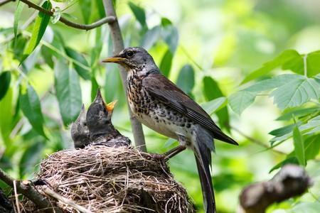 trustful: Nest of the fieldfare (Turdus pilaris) with nestling.