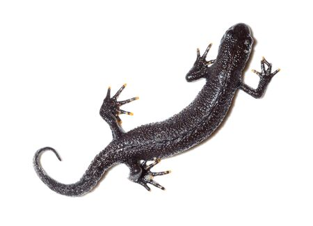 amphibia: Triturus cristatus, Great Crested Newt in studio against a white background.