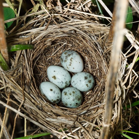 birdnest: Nest of a Marsh Warbler (Acrocephalus palustris) with eggs in the nature.