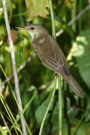 palustris: Marsh Warbler, Acrocephalus palustris in the nature. Stock Photo