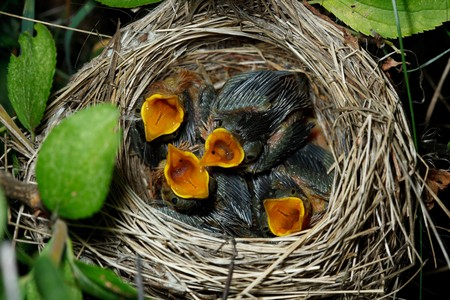 trustful: Nest of a Marsh Warbler (Acrocephalus palustris) with baby birds in the nature.