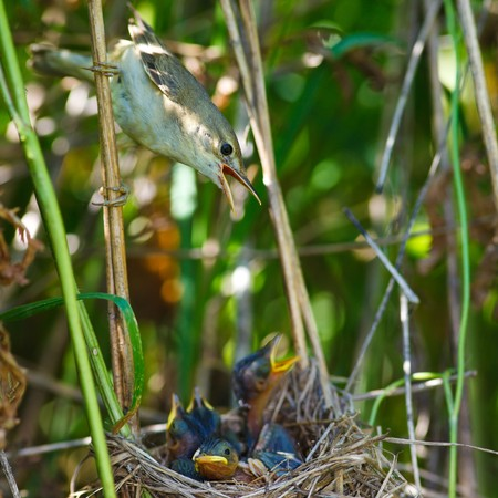 palustris: Nest of a Marsh Warbler (Acrocephalus palustris) with baby birds in the nature.