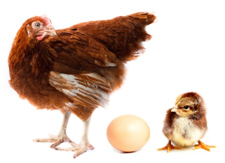 amazement: Hen, chick and egg in studio against a white background.