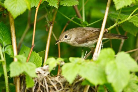 Nest of the Blyths Reed Warbler , Acrocephalus dumetorum. photo
