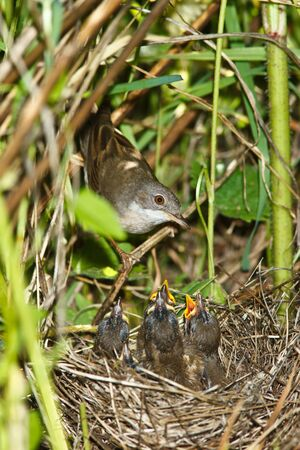 trustful: Whitethroat (Sylvia communis) by a nest in a habitat. Stock Photo