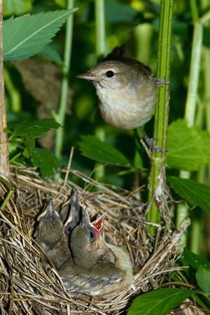 trustful: Garden Warbler (Sylvia borin) by a nest with baby bird.