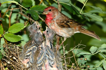 The nest of the  Common Rosefinch (Carpodacus erythrinus)  with the nestlings in a wild nature.