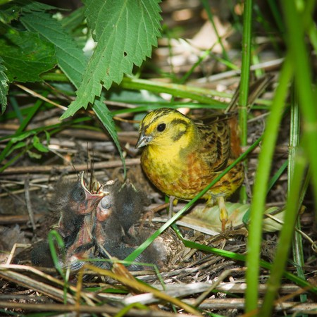 Yellowhammer, Emberiza citrinella. Nest of a bird with nestligs in the nature. photo
