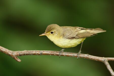 Icterine Warbler, Hippolais icterina in the wild nature on a green background.
