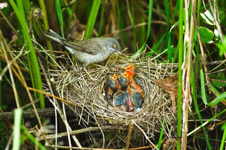 barred: The nest of a Barred Warbler (Sylvia nisoria) in the wild nature. Stock Photo