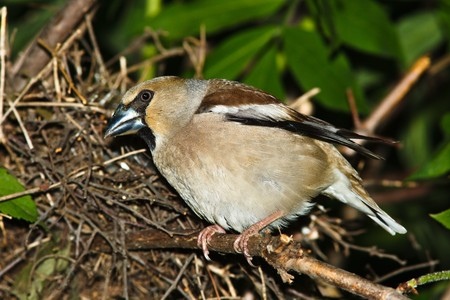 Nest of a Hawfinch (Coccothraustes coccothraustes) with baby birds in the nature. photo