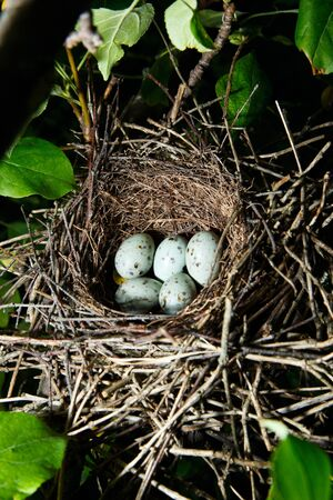 Nest of a bird with eggs in the nature. Hawfinch, Coccothraustes coccothraustes. photo