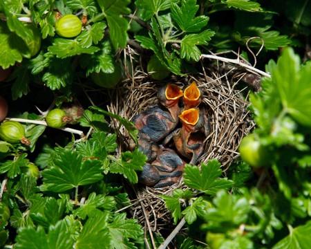 gooseberry bush: The nest of the Lesser Whitethroat (Sylvia curruca) in gooseberry bush.