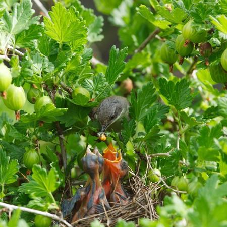 gooseberry bush: Il nido della curruca (Sylvia curruca) nella boscaglia di uva spina.