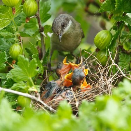 gooseberry bush: Il nido del Sylvia curruca (Sylvia curruca) aculeata Bush.