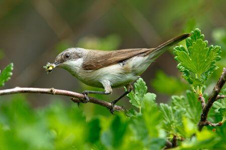 lesser: Lesser Whitethroat (Sylvia curruca) in the nature.