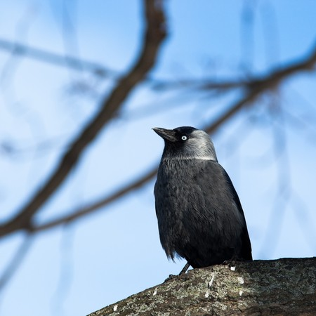 The Jackdaw, or Daw, (crow family, Corvus monedula) in the nature. Stock Photo - 7374693