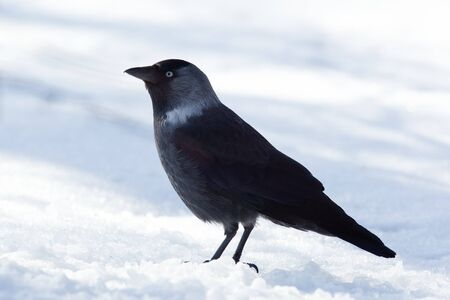 The Jackdaw, or Daw, (crow family, Corvus monedula) in the nature. Stock Photo - 7374648