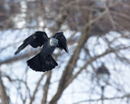 monedula: The Jackdaw, or Daw, (crow family, Corvus monedula) in the nature. Bird in fly.